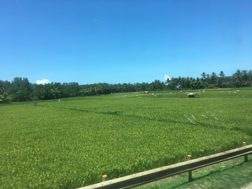 Rice fields of the Phillipines.